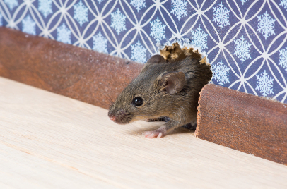 mouse in a hole in a house wall