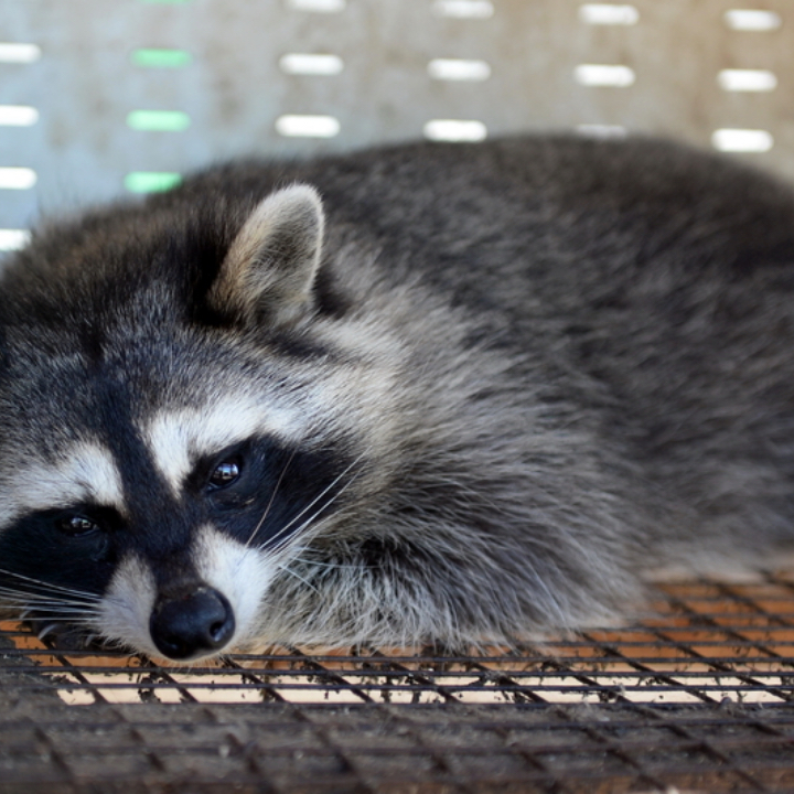 a racoon in a cage